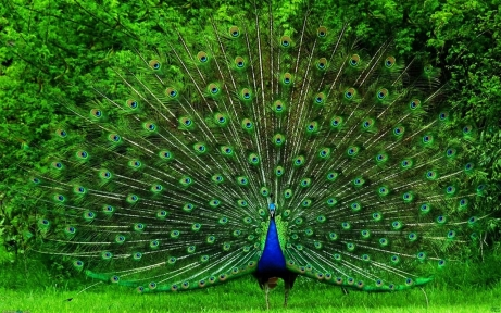 Beautiful-Proud-Peacock-HD
